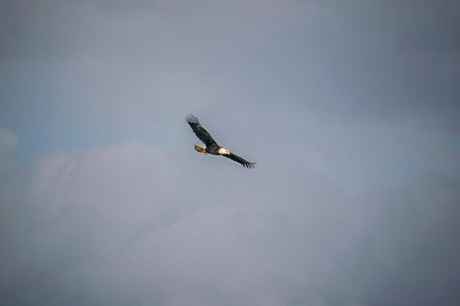 Balk eagle